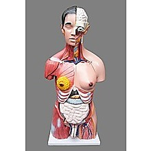 Human 80cm Unisex Torso Anatomical Model Skeleton Life Size