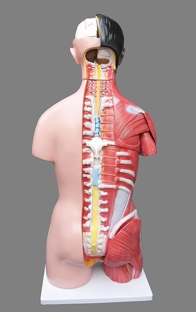 Human 80cm Unisex Torso Anatomical Model Skeleton Life Size