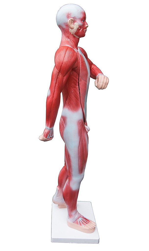 an in depth look at the human muscular system The human muscular system is an organ system composed of skeletal muscles, smooth muscles, and cardiac muscles there are at least 639 muscles in a human body human muscular system-functions of muscles-labeled from the front side.