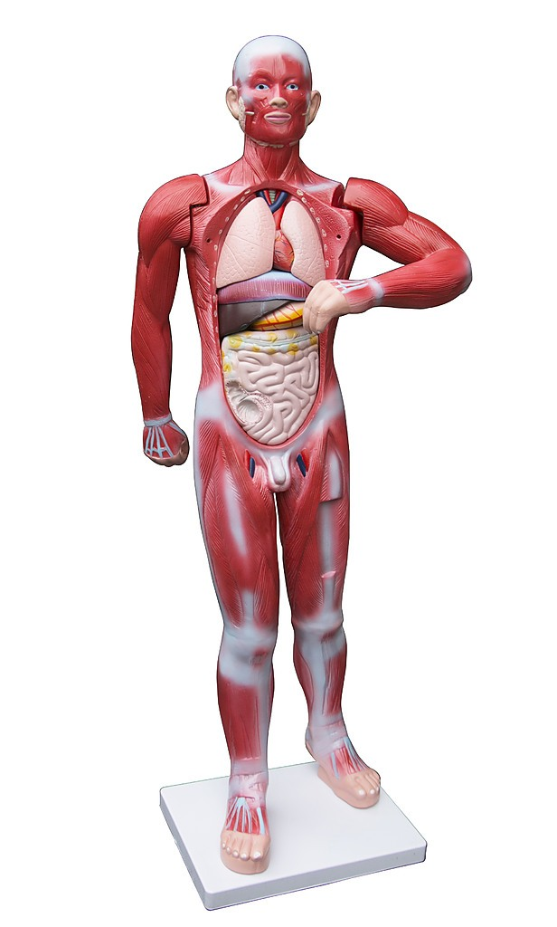 human anatomical muscular model muscle system - toys, Muscles