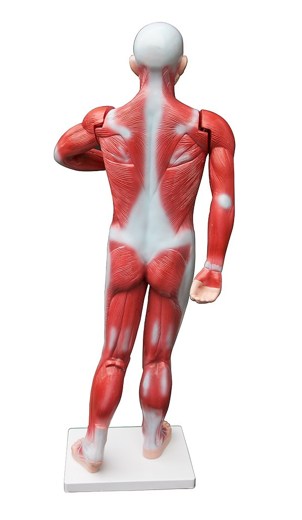 Human Anatomical Muscular Model Muscle System Life Size