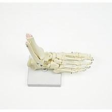 Life Size Foot Joint Anatomical Model Skeleton