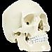 Life Size Anatomical Deluxe Human Skull Model Medical Skeleton Anatomy Replica