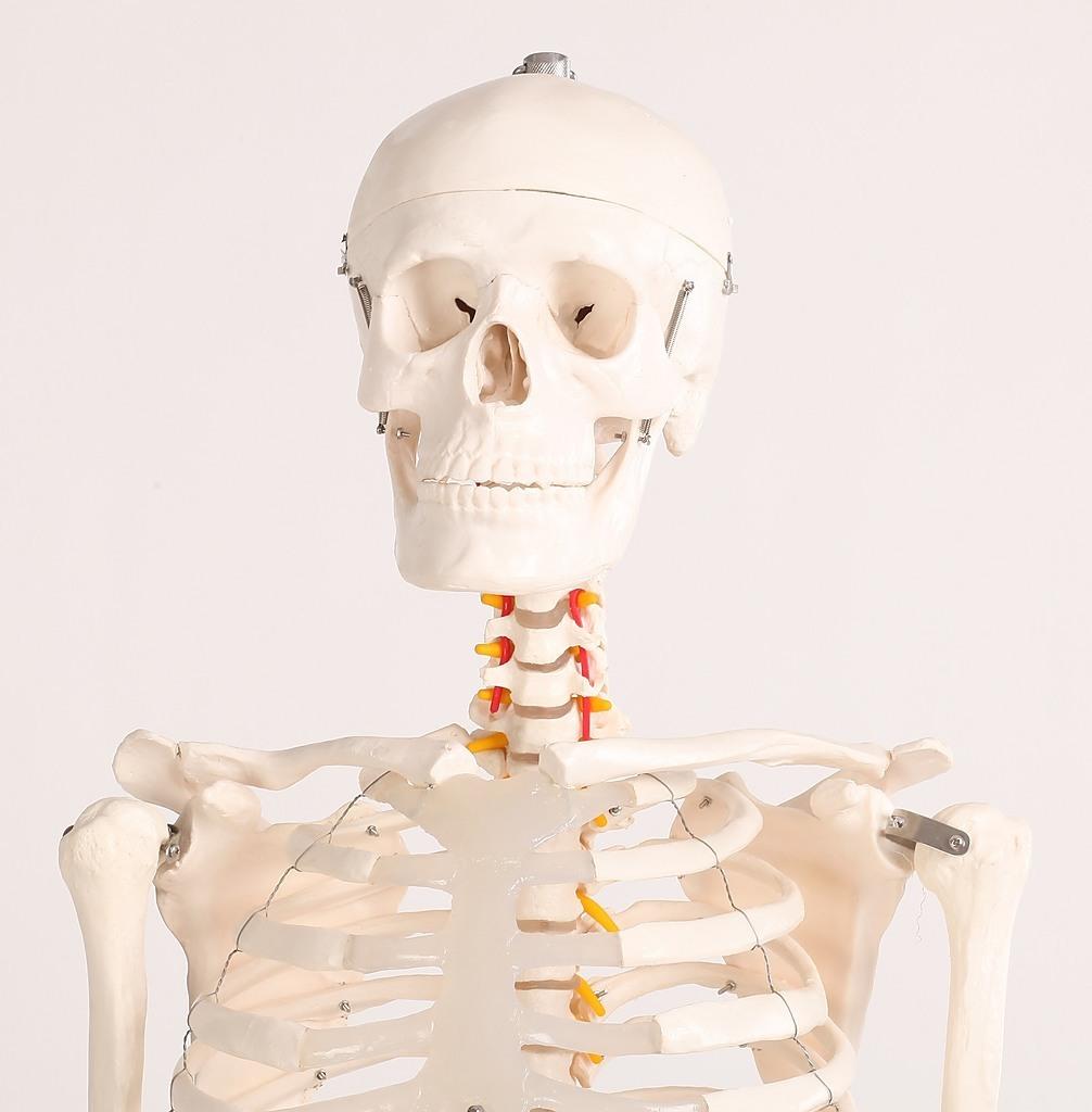 Human Skeleton Anatomical Model 180cm - Toys > Educational & Learning